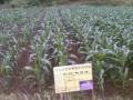 百蚂蚁玉米种植示范基地