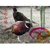 贵州野山鸡苗-贵州野山鸡种苗提供