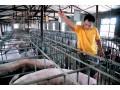 科学养猪技术(一)