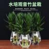 水培观音竹